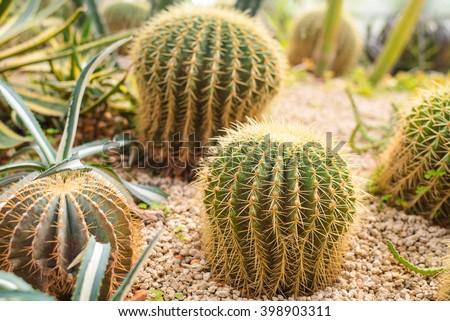 domestic cactus closeup  in desert. #398903311