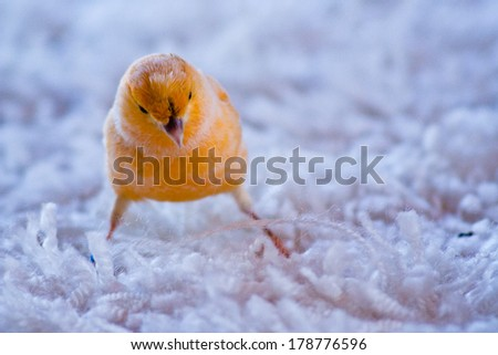 Domestic Canary (Serinus canaria domestica)