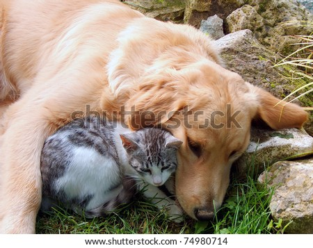 Domestic cat and golden retriever.