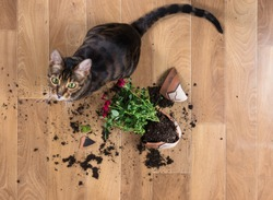 Domestic cat breed toyger dropped and broke flower pot with red roses and looks guilty. Concept of damage from pets. Top view.