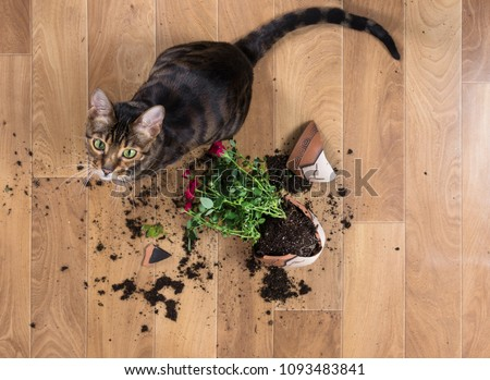 Domestic cat breed toyger dropped and broke flower pot with red roses and looks guilty. Concept of damage from pets. Top view. #1093483841