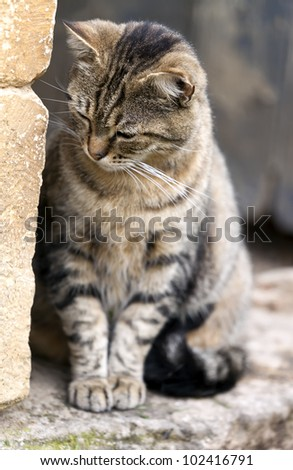 Domestic cat close to a wall, Felis silvestris catus