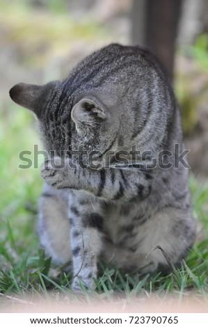 Domestic cat Domestic Cat  #723790765
