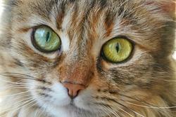 Domestic cat face with big eyes close-up, macro shot
