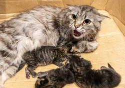 Domestic cat female hisses while protecting her three 3 days old kittens in a cardboard box