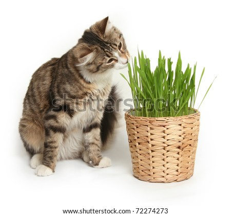 domestic cat in the grass on white background