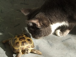 Domestic cat interested in terrestrial land turtle