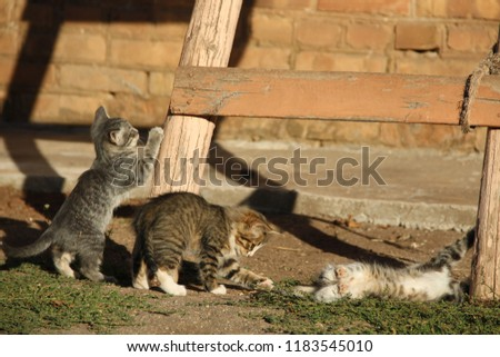 domestic cat is a mammal of the family of predatory feline order #1183545010