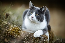 Domestic cat lying in nature background