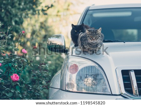 Domestic cat on the hood of the car. Pampered pets #1198545820