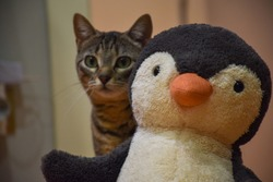 Domestic cat playing with a stuffed penguin 2