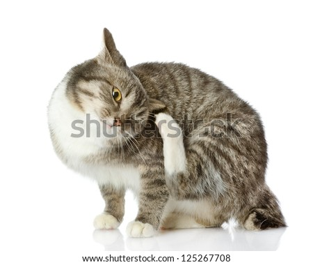 Domestic cat scratching isolated on white background