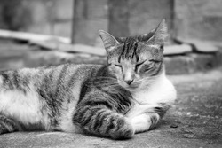 Domestic cat sitting on the ground. Close up and black and white image.