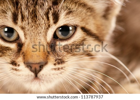 Domestic cat staring in camera with a deep look