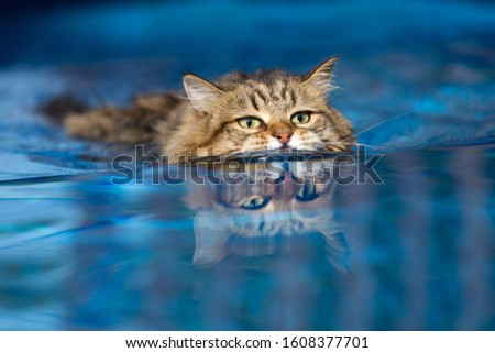 Domestic Cat Swimming in the Pool Photo stock ©