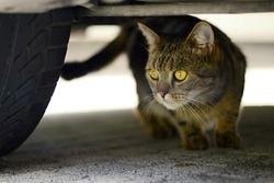 Domestic cat - under the car
