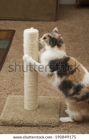 Domestic Cat using Scratching post