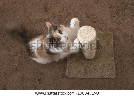 Domestic Cat using Scratching Post - Overhead, Landscape
