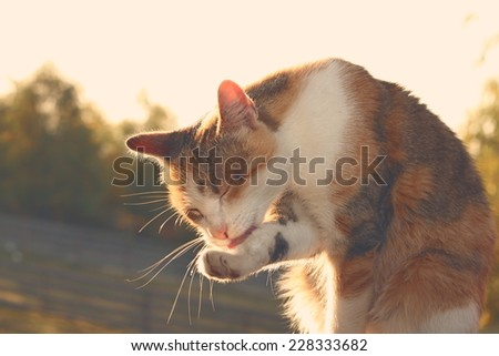 domestic cat washing its foot, image with vintage effect