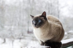 Domestic cat with blue eyes on snow, froze over in the winter outside. Winter cat sits outside after a snowstorm. A hungry cat is waiting for its owner in the country. Abandoned cat in frosty  winter