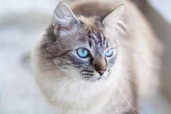 Domestic cat with turquoise blue eyes.