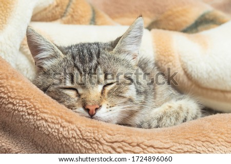 Domestic cat wrapped in a blanket and sleeps. Close-up. Only the face is visible Stock photo ©