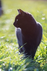 Domestic complete black cat walking through the lush green gras looking to the side