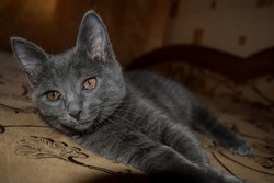 Domestic cute grey kitten portrait. Cute kitten eyes