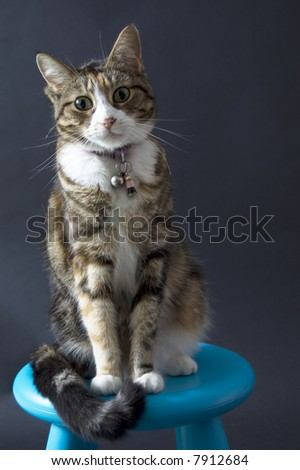 domestic cyper cat sitting on a blue chair