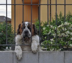 domestic dog aka Canis lupus familiaris mammal animal behind a fence