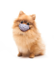 domestic dog in medical respiratory mask sitting
