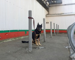Domestic dog waiting for its owner tethered to a post outside the shop. Moscow, Russia.