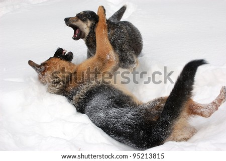 Domestic Dogs play in the winter forest.Near Kiev,Ukraine