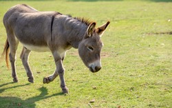 Domestic donkey going for a walk in a meadow.
