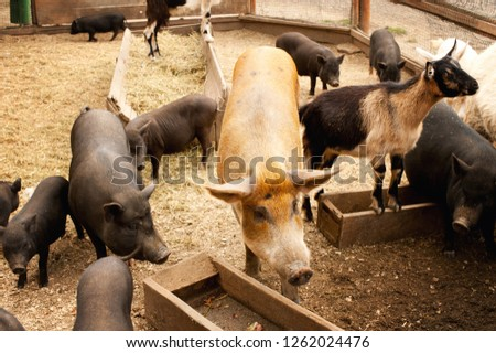 Domestic farm with pigs, piglets and little goat, barnyard outdoor