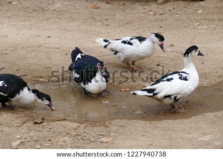 domestic-fed domestic ducks, domestic ducks of various genera, #1227940738