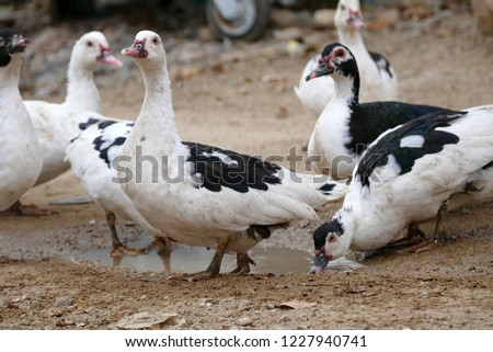 domestic-fed domestic ducks, domestic ducks of various genera, #1227940741