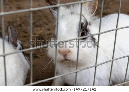 Domestic furry white and black spotted farm rabbit bunny behind the bars of cage at animal farm. Livestock food animals growing in cage. #1497217142