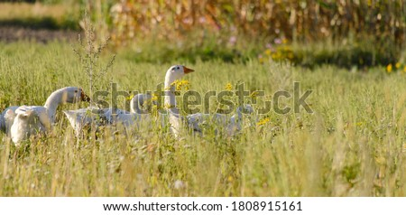 Photo of  Domestic geese on a meadow. Fall rural farm landscape. Geese in the grass, domestic bird, flock of geese