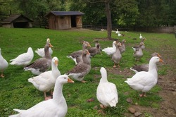 Domestic geese on the farm. Flock of fattening geese, on the rural farm for the production of meat and goose feathers. Flock of white domestic geese on the pasture. Big white goose on farm.