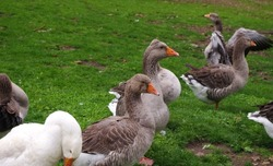 Domestic geese on the farm. Flock of fattening geese, on the rural farm for the production of meat and goose feathers. Flock of white domestic geese on the pasture. White and brown goose on farm.