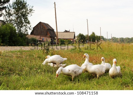Domestic geese on the village street