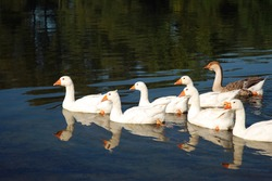 Domestic geese swim in the water. A flock of white beautiful geese in the river.