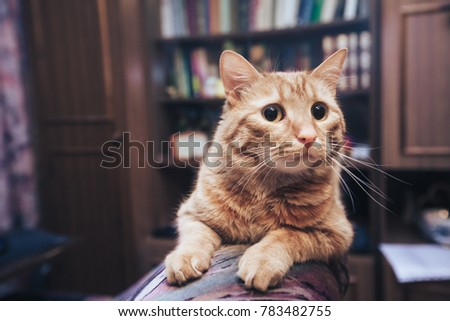 domestic ginger cat at home