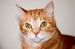 Domestic ginger red cat portrait. Red cat Filya. Filya ginger cat portrait. Red ginger cat portrait