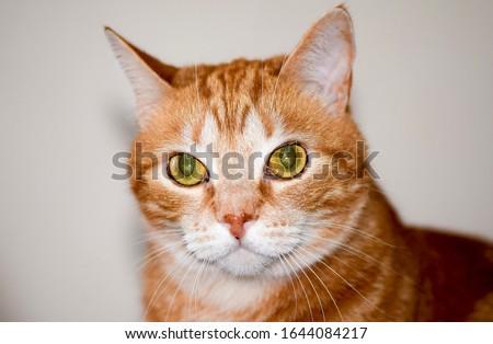 Domestic ginger red cat portrait. Red cat Filya. Filya ginger cat portrait. Red ginger cat portrait