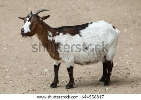 Domestic goat (Capra aegagrus hircus). Farm animal.