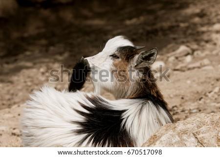 Domestic goat (Capra aegagrus hircus). Farm animal. #670517098