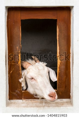 Domestic goat (Capra aegagrus hircus) looking out of sty #1404815903