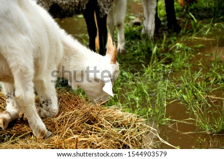 Domestic goat - domestic pet, a species of artiodactyls from the genus mountain goats family polorogih. #1544903579